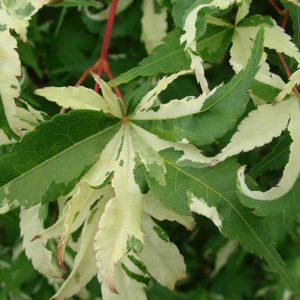 Oridono Nishiki Japanese Maple tree (summer color) at Maples N More plant nursery