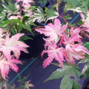Oridono Nishiki Japanese Maple at Maples N More plant nursery