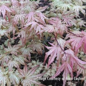 Peaches and Cream Japanese Maple (spring) at Maples N More plant nursery