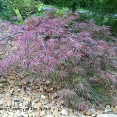Red Dragon Japanese Maple tree at Maples N More plant nursery