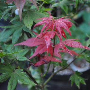 Ruby Star Japanese Maple at Maples N More plant nursery