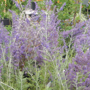 Russian Sage in Bloom