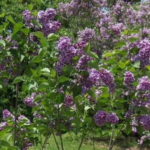 Sensation Lilac bush at Maples N More plant nursery