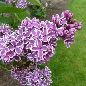 Sensation Lilac bush (bloom) at Maples N More plant nursery