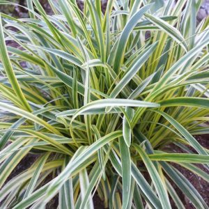 Variegated Liriope at Maples N More plant nursery