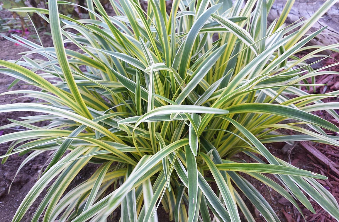 Variegated Liriope - Mike's Backyard Nursery