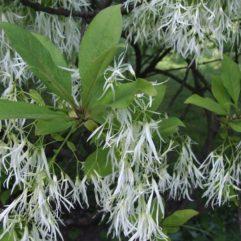 White Fringe tree (closeup) at Maples N More plant nursery