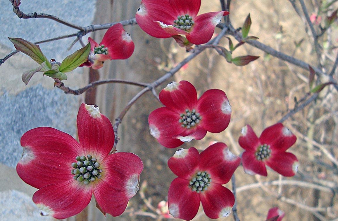 Vertical garden strawberries - Cherokee Brave Dogwood Maples N More Nursery