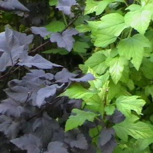Diablo Ninebark tree leaves at Maples N More plant nursery