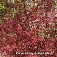 Hubbs Red Willow tree at Maples N More plant nursery