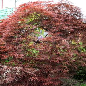 Inaba Shidare tree at Maples N More plant nursery