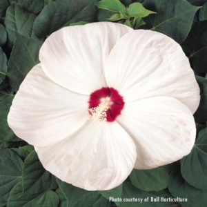 Luna White Hibiscus at Maples N More plant nursery