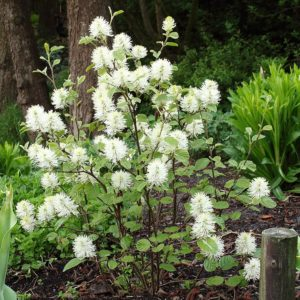 Mount Airy Fothergilla at Maples N More plant nursery