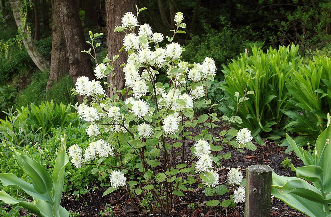 Mount airy fothergilla maples n more nursery for Mont airy