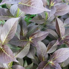 Tango Weigela Foliage at Maples N More plant nursery