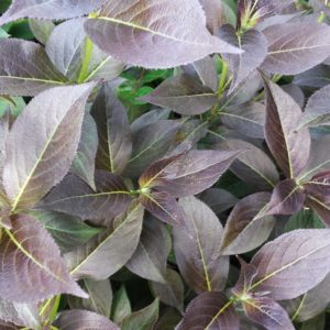 Tango Weigela Foliage at Maples N More plant nursery