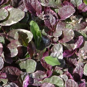 Ajuga Burgundy Glow at Maples N More plant nursery