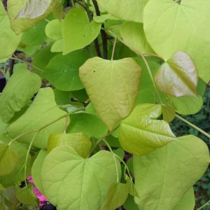 Hearts of Gold Redbud at Maples N More plant nursery