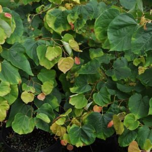 Rising Sun Redbud at Maples N More plant nursery