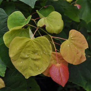 Rising Sun Redbud Leaves
