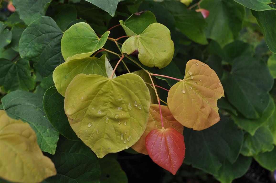 The Rising Sun Redbud Maples N More Nursery