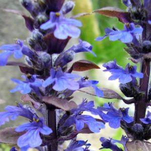 Bronze Beauty Ajuga Bloom