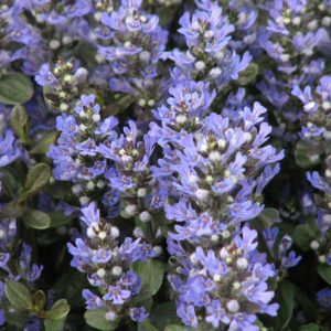 Ajuga Chocolate Chip at Maples N More plant nursery
