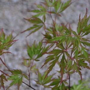 Autumn Fire Japanese Maple spring foliage at Maples N More plant nursery