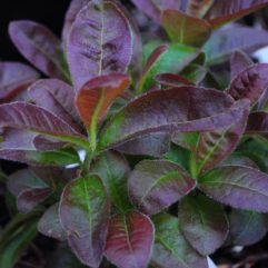 Cannons Double Foliage at Maples N More plant nursery
