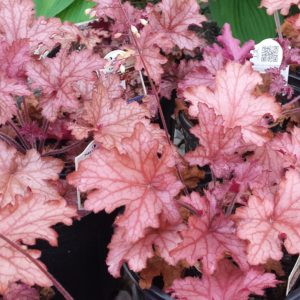 Carnival Peach Heuchera at Maples N More plant nursery