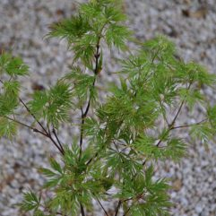 Emerald Lace Japanese Maple spring foliage at Maples N More plant nursery