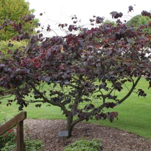 Forest Pansy Redbud at Maples N More plant nursery