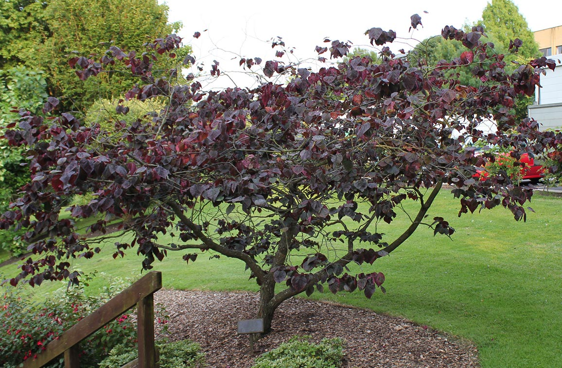 Forest Pansy Redbud Maples N More Nursery