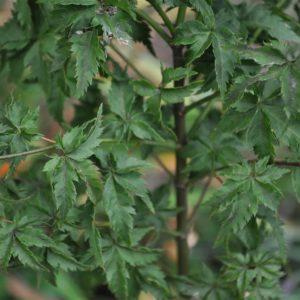 Krazy Krinkle at Maples N More plant nursery