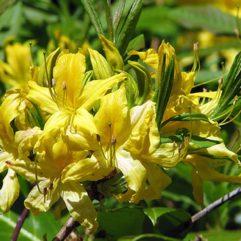 Lemon Lights Azalea at Maples N More plant nursery