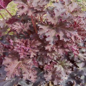 Melting Fire Heuchera at Maples N More plant nursery