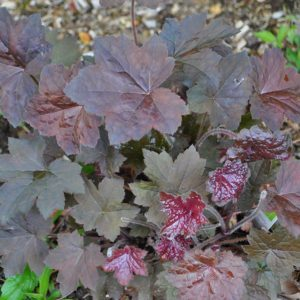 Palace Purple Heuchera at Maples N More plant nursery