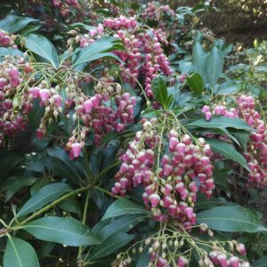 Valley Valentine Pieris at Maples N More plant nursery
