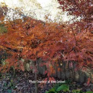 Viridis late fall leaves - Japanese Maples at Maples N More plant nursery