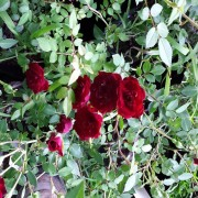 Red Cascade Rose