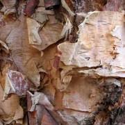 river-birch-bark