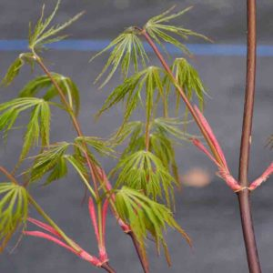Shu Shidare Japanese Maple at Maples N More plant nursery