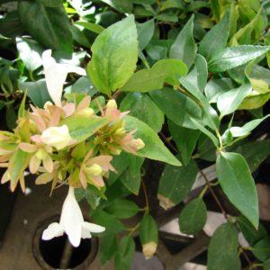 Hopley's Abelia shrub at Maples N More plant nursery