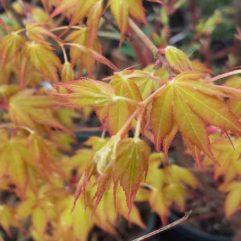 Katsura Japanese Maple at Maples N More plant nursery