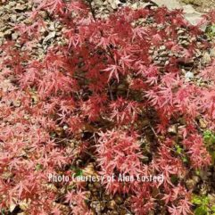 olsens Frosted Strawberry Japanese Maple at Maples N More plant nursery