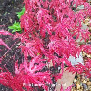Purple Ghose (Closeup) Japanese Maple at Maples N More plant nursery