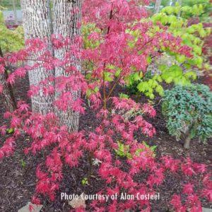 Purple Ghost Japanese Maple at Maples N More plant nursery