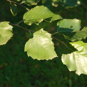 River Birch Tree leaves at Maples N More plant nursery