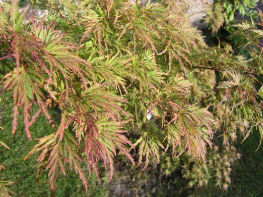 Seiryu Japanese Maple tree at Maples N More plant nursery