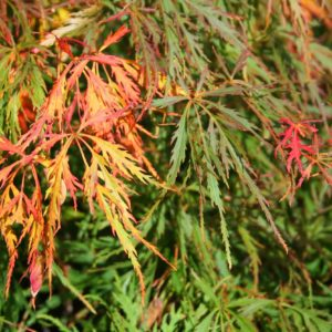 Waterfall in autumn Japanese Maple at Maples N More plant nursery